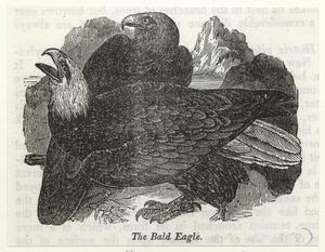 The bald eagle.
