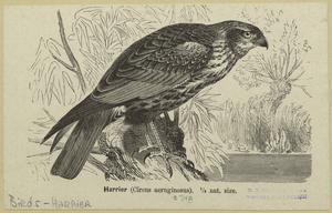 Harrier (Circus aeruginosus) 1/4 nat. size.