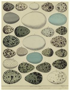 [Various examples of birds' eggs.]