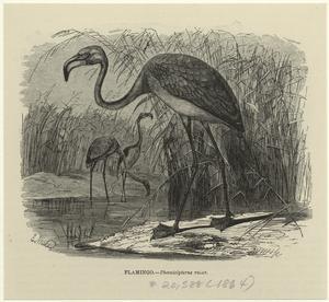 Flamingo -- Phoenicópterus ruber.