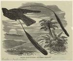 Leona Goat-Sucker, Macrodiptex [Sic] Longipennis.