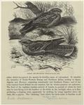 Common And Red-Necked Nightjars.