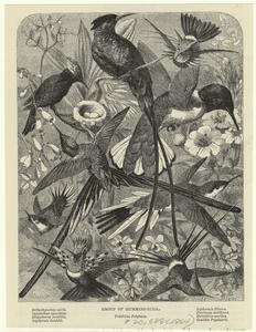 Group of humming-birds, Tróchilus polytmus.
