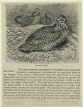Prairie Hens.