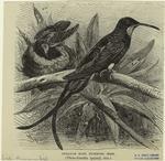 Guianan King Humming Bird.