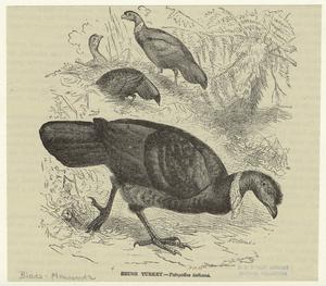 Brush turkey -- Talegallus lathami.