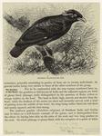 Southern Grackle.