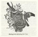 Mocking-birds defending t