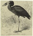 Klaffschnabel (Anastomus
