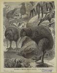 Kiwi-kiwi or Apteryx (Apt