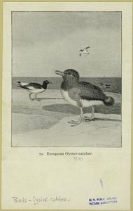 European oyster-catcher.