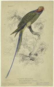 Palæornis malaccensis - Malacca ring-parrakeet.