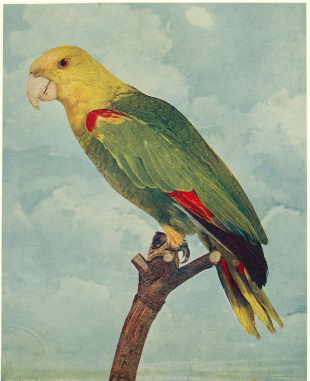Double yellow-headed parrot.