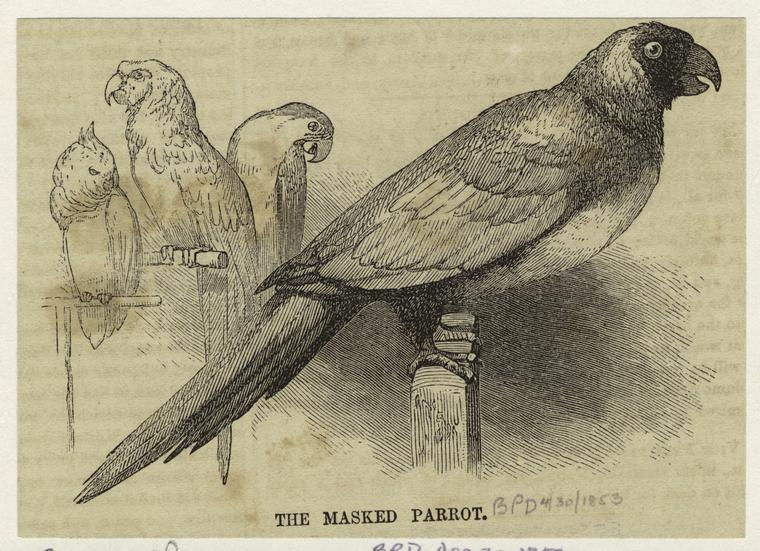 The masked parrot.