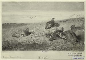 Partridge.