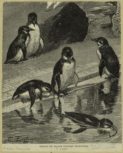 Group of black-footed penguins.