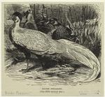 Silver Pheasant (One-Fifth Natural Size).