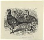 Pheasant -- Phasiánus Cólchicus.