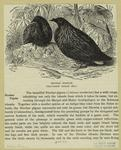 Nicobar Pigeons (One-Fourth Natural Size)