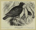 Tooth-billed pigeon (one-