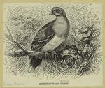 Abyssinian Walia Pigeon.