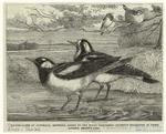 Magpie-Larks Of Australia, Recently Added To The Royal Zoological Society'S Collection In Their Gardens, Regent'S Park.
