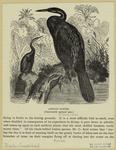 African darter (one-fourt