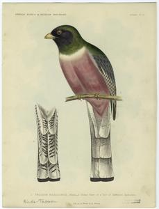 Trogon mexicanus (male) ; Under view of a tail of different specimen.