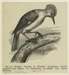 Extinct starling of Réuni