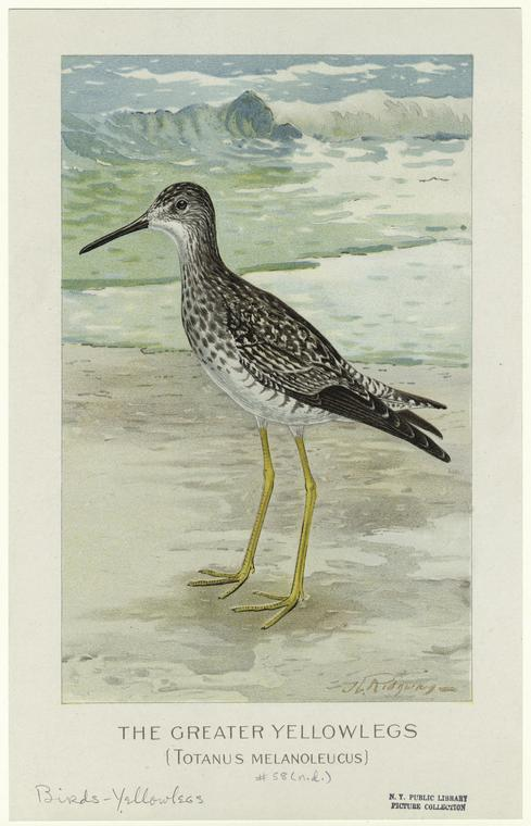 The greater yellowlegs (Totanus melanoleucus).