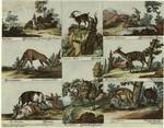 [Antilope ; Cervus camelo