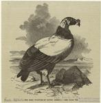 The king vulture of South