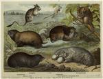 Hamster ; Mole rat ; Jerb