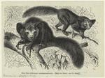 Aye-Aye (Chiromys Madagascariensis).