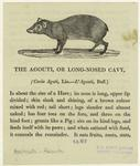 Agouti : Or Long-Nosed Cavy.