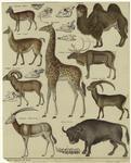 Lama (Camelus) ; Trampelthier ; Bisamthier ; Rennthier ; Giraffe (Camelo pardalis) ; Muflon (Ovis musmon) ; Steinbok (Capra ibex) ; Spiessgemse (Antilope leucoryx) ; Urochs (Bos urus)