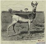 Rothalsgazelle, Gazella Dama Ruficollis.