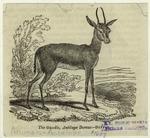 The Gazelle, Antilope Dorcas.