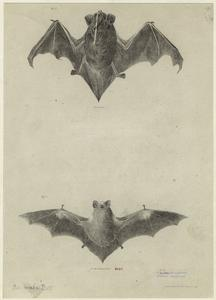 [Bats with wings outstretched.]