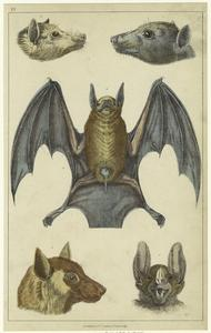 Black-faced bat ; Edible bat ; Red-footed bat ; Common vampire bat.