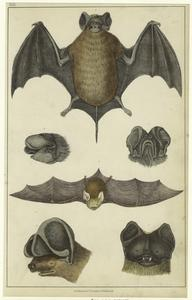 Notcheared bat ; Slender bat ; Rufous bat.