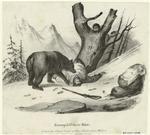 Europäischer Bär.