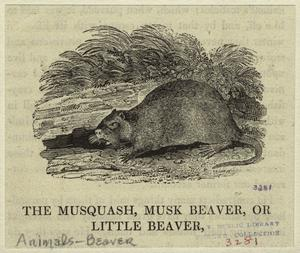 The musquash, musk beaver, or little beaver.