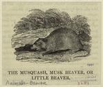 The Musquash, Musk Beaver, Or Little Beaver.