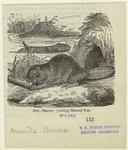 Beaver, yielding hatters' fur.