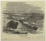 A herd of bison.