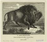 North American bison.
