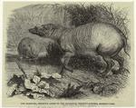The Babirussa, Recently Added To The Zoological Society'S Gardens, Regent'S Park.