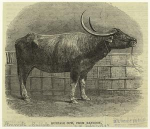 Buffalo cow, from Rangoon.