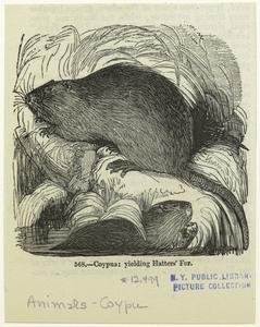 Coypus : yielding hatters' fur.
